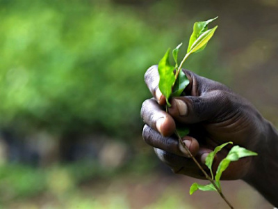 togo-s-office-for-the-development-and-exploitation-of-forests-reforested-12-000-ha-state-lands-since-it-was-established