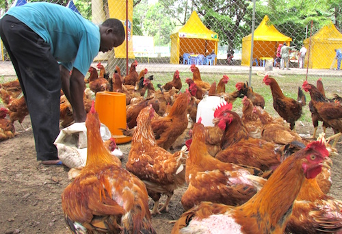 filiere-animale-le-paeij-sp-recherche-400-jeunes-entrepreneurs-a-accompagner-dans-les-savanes-et-la-kara
