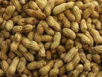 togo-de-nouvelles-varietes-introduites-pour-booster-la-filiere-arachide