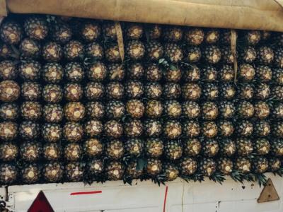 togo-les-chiffres-cles-de-la-filiere-ananas