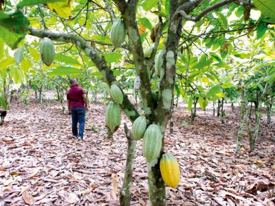 pasa-quel-impact-sur-la-filiere-cafe-cacao