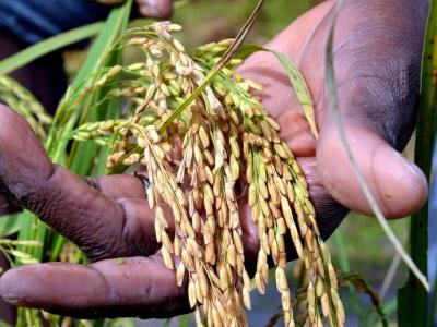 fonds-tirsal-du-mais-et-du-riz-en-aperitif