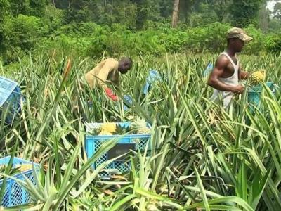 togo-l-ue-et-l-allemagne-appuient-les-producteurs-d-ananas