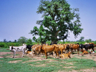 togo-half-a-billion-cfa-invested-in-cattle-production-areas