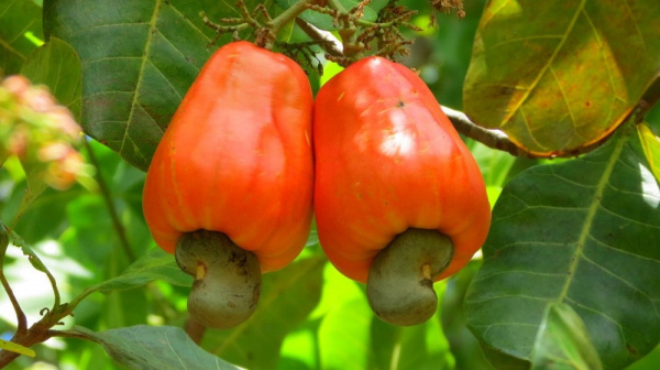 Togo exported XOF7 billion of cashew in 2018, against XOF2.5 billion the year before