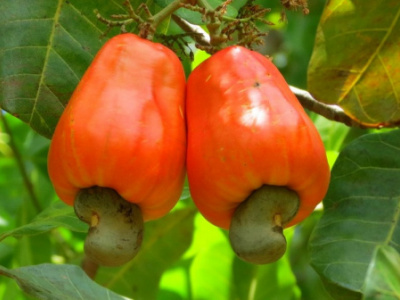 togo-exported-xof7-billion-of-cashew-in-2018-against-xof2-5-billion-the-year-before