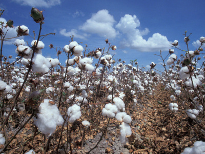 togo-s-new-cotton-campaign-officially-begins