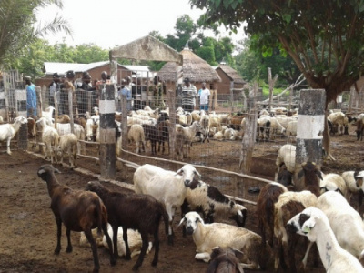 togo-300-breeders-to-get-up-to-xof1-5-billion-under-pasa-s-additional-phase