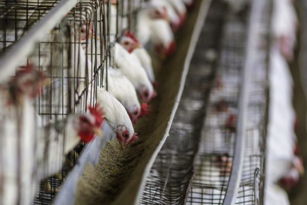 Lomé hosts pan-African Poultry Conference