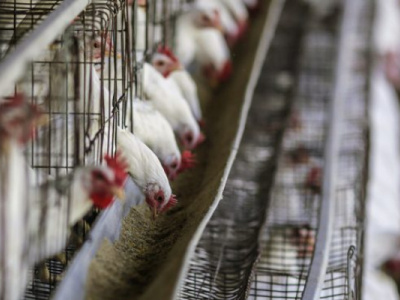 lome-hosts-pan-african-poultry-conference