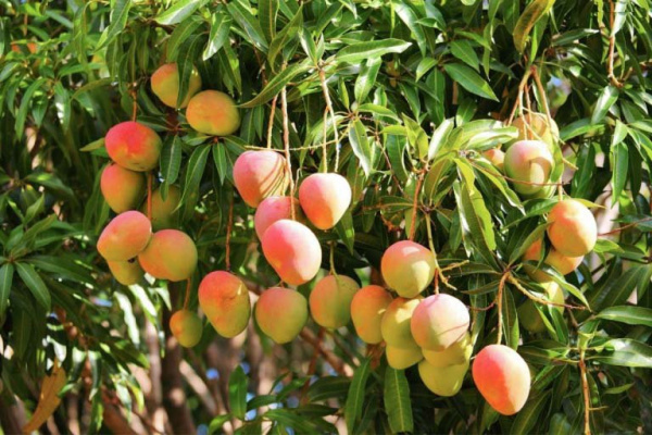 West Africa's mango exporters to soon be hit by new sanitary directive regulating exports to EU