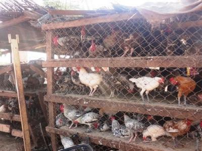 au-togo-bond-de-la-vente-des-poulets-locaux