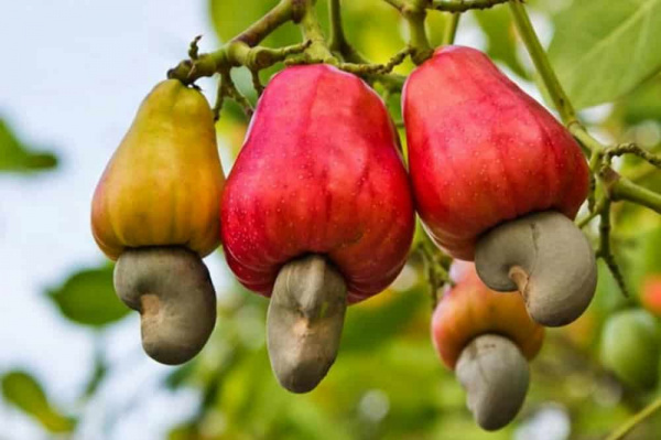 Togo exported 15,000 Mt cashew nuts during 2018 agricultural campaign