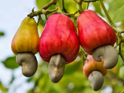 togo-exported-15-000-mt-cashew-nuts-during-2018-agricultural-campaign