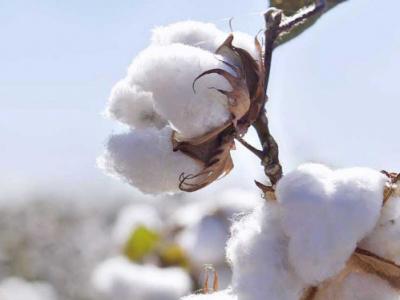cotton-export-revenues-up-27-in-2017
