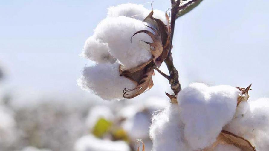 togo-hausse-de-27-des-revenus-d-exportation-du-coton-en-2017
