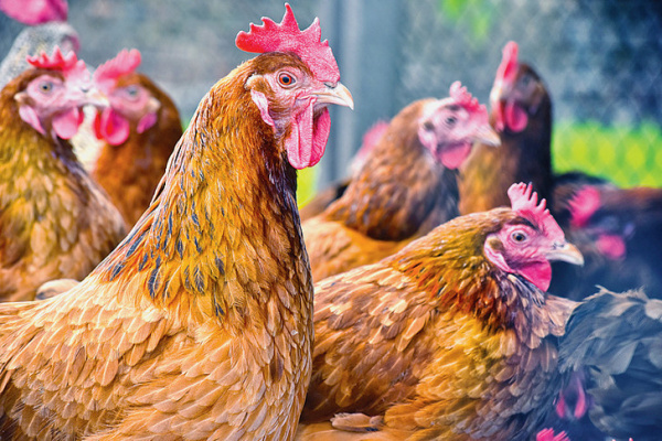 Togo bans poultry imports from six countries