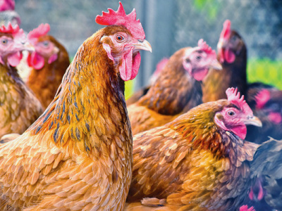togo-bans-poultry-imports-from-six-countries