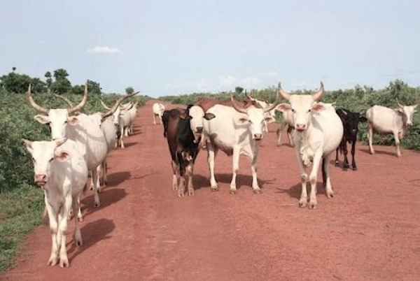 ECOWAS: ARAA to inject $3mln in innovative projects aimed at bolstering husbandry and livestock trading
