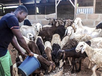 projet-pasa-le-togo-a-investi-plus-de-1-2-milliard-fcfa-pour-doper-le-secteur-de-l-elevage
