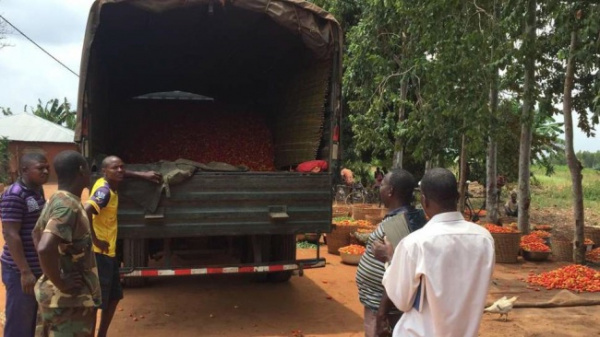 Government purchases tomato stock from local farmers, as Nigeria closes border with Benin