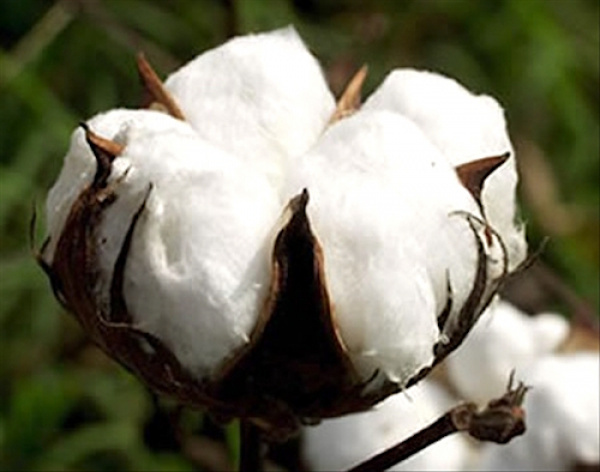 Cotton : Togo produces 180,000 tons during 2017-2018, against 108,000 the previous season