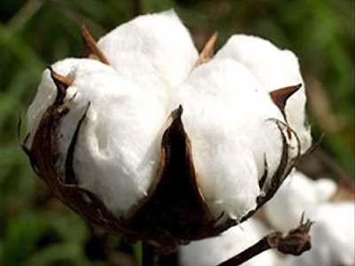 cotton-togo-produces-180-000-tons-during-2017-2018-against-108-000-the-previous-season