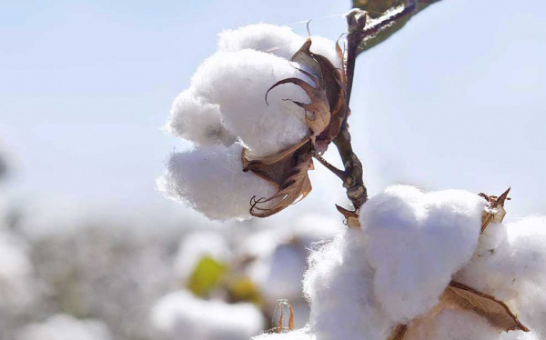 Cotton: WAEMU to soon have a regional consultation framework?