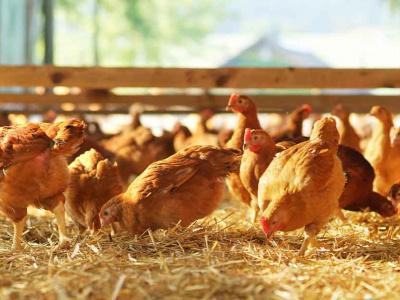 les-ambitions-de-lome-pour-la-filiere-avicole
