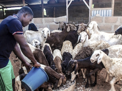 togo-injects-more-than-cfa1-2bn-in-husbandry-under-pasa-project