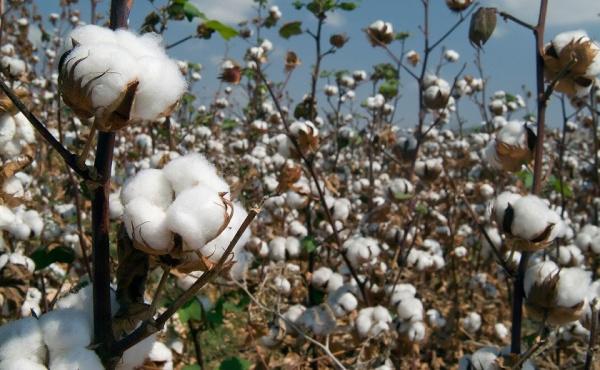 Togo's cotton sales to the EU in 2018 up by more than 50% compared to 2017