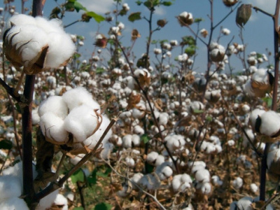 togo-s-cotton-sales-to-the-eu-in-2018-up-by-more-than-50-compared-to-2017