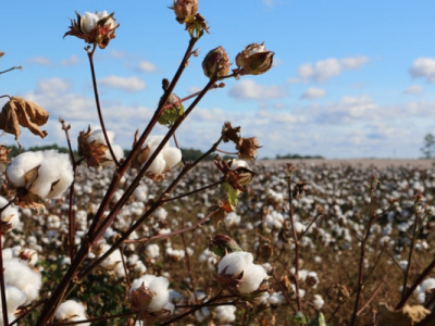 togo-olam-commits-to-ramping-up-cotton-output-this-season