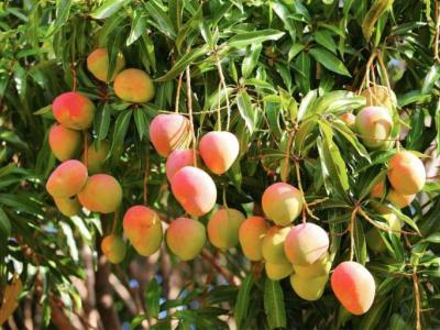 exportations-de-mangues-vers-l-union-europeenne-une-nouvelle-directive-devrait-bientot-compliquer-la-tache-a-l-afrique-de-l-ouest